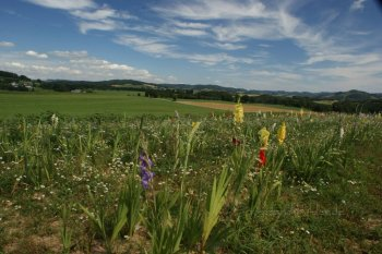 Blumenwiese im Sauerland