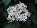 Holunderblüte-103