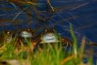 zwei Frösche im Sauerland