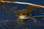 Frosch im Sauerland